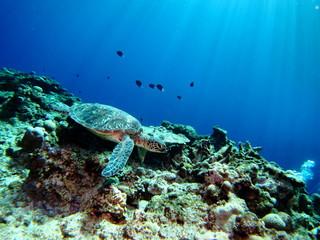 珊瑚の上を泳ぐ海亀