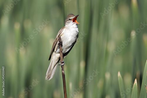 Fototapeta Great-reed warbler, Acrocephalus arundinaceus