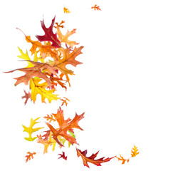 Falling autumn oak leaves isolated on white