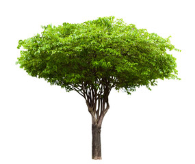 Wrightia religiosa tree isolated