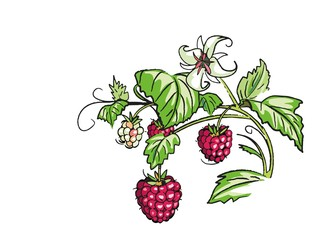 Illustration, Himbeeren