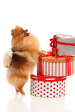 Pomeranian Spitz with present boxes
