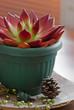 Red succulent in a pot