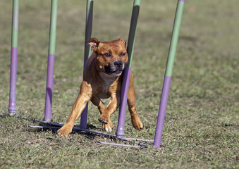 Speedy dog in the agility slalom