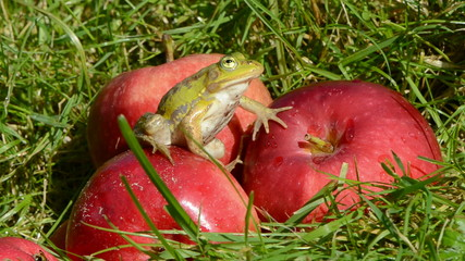 animal green frog on red apple in summer end garden