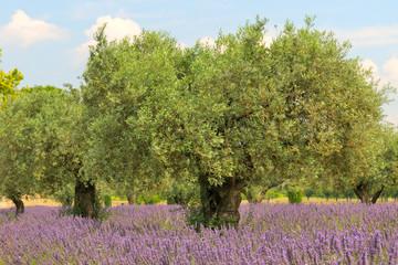 Olivenbaum im Lavendel