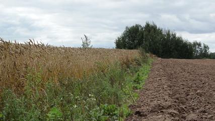 close ripe wheat ears move wind plowed field soil autumn season
