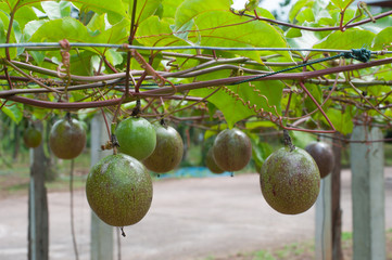 passing fruit tree