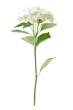white hydrangea isolated on white background
