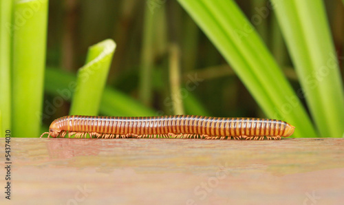 Millipede crawling on wooden with green plant background