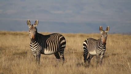 A pair of Cape Mountain Zebras in open grassland