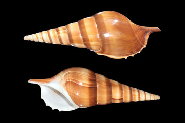 Shells of Tibia insulaechorab on black background