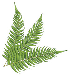 new zealand leaf