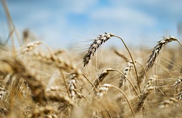 Closeup of an ear of golden wheat
