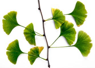 Ginkgo Biloba Branch
