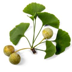 Ginkgo Biloba Fruit