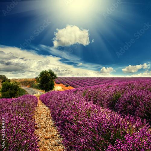 lavender field - 54398845
