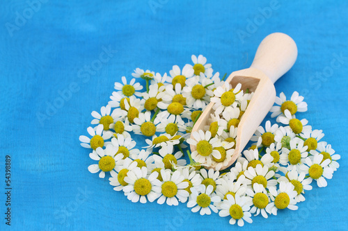 Chamomile flowers on wooden scoop on blue background