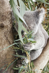 Koala and his eucalyptus