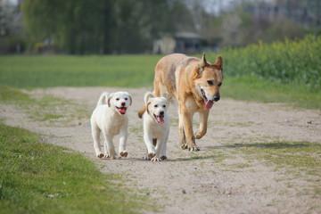 Maremano & Schäferhund