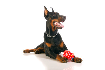 Great doberman dog with favorite toy