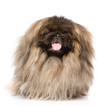 Fluffy Pekingese in front. isolated on white background