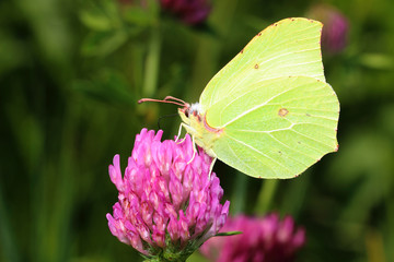 Butterfly - Common Brimstone on clovers flower