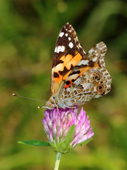 Painted Lady (Vanessa cardui) on clovers flower. Macro