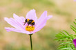 Cosmos and bumble bee