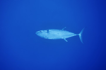 Sudan, Red Sea, big tunafish