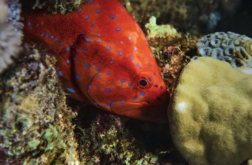 SUDAN, Red Sea, tropical spotted red grouper
