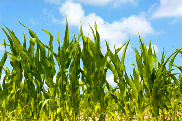 Corn plants in an agricultural field