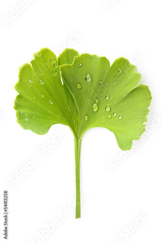 Ginkgo leaf with dew.
