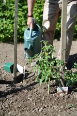 jardinage - arrosage de plants de tomate