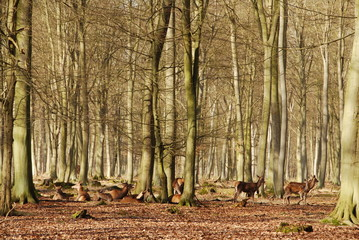 Cerf, biches en forêt