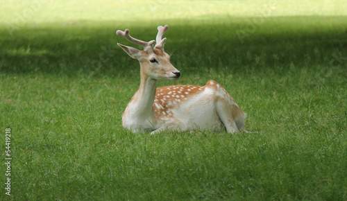 A Fallow Deer Resting in a Grass Meadow.