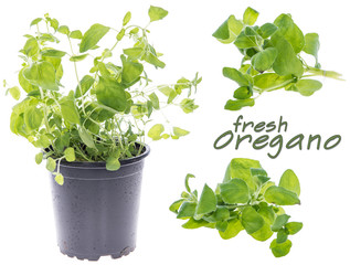 Fresh Oregano (Set)