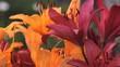 разноцветные лилии цветы в саду