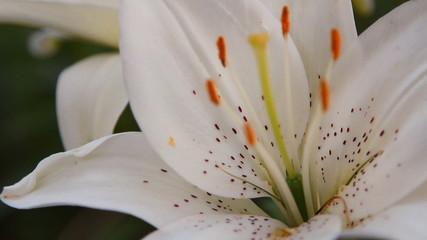 белая лилия цветок в саду
