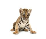 Dětská bengálského tygra