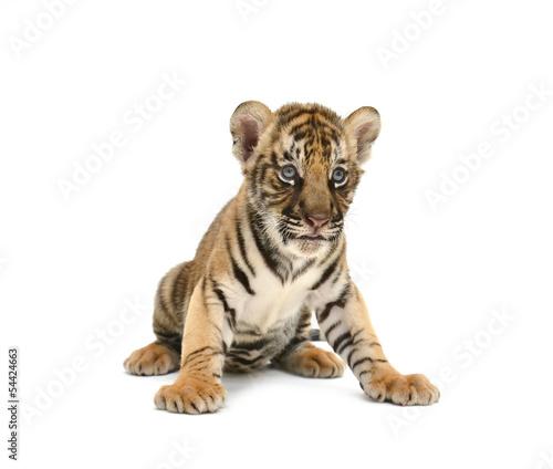 Tuinposter Tijger baby bengal tiger