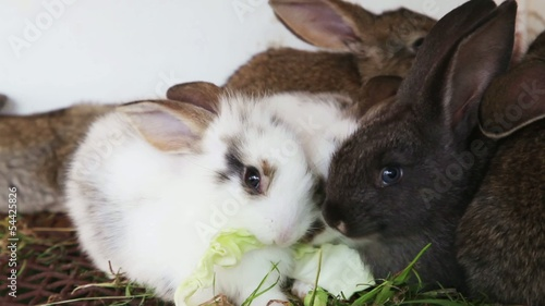Family rabbits feeding cabbage leaves inside rabbit hutch