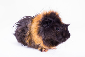 Guinea pig with white background