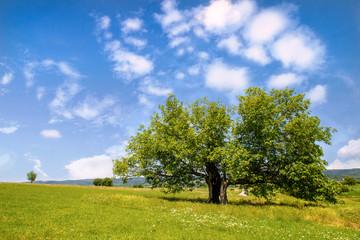 Mulberry tree in green field
