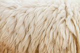 sheep fur