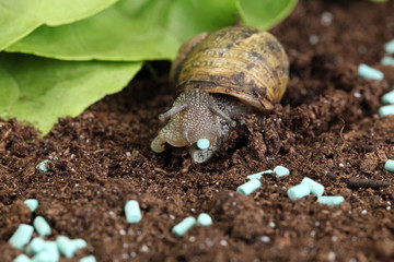 granulés anti limace et escargots