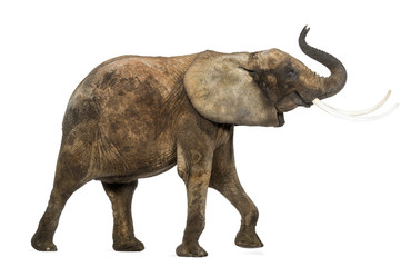 Side view of an African elephant lifting its trunk, isolated