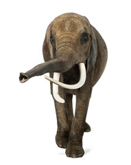 Front view of an African elephant, lifting its trunk, isolated
