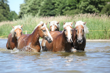 Batch of chestnut horses moving in the wather