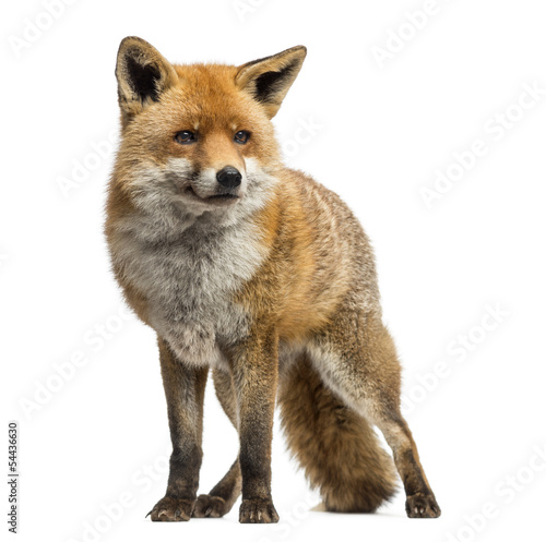 Papiers peints Hyène Red fox, Vulpes vulpes, standing, isolated on white
